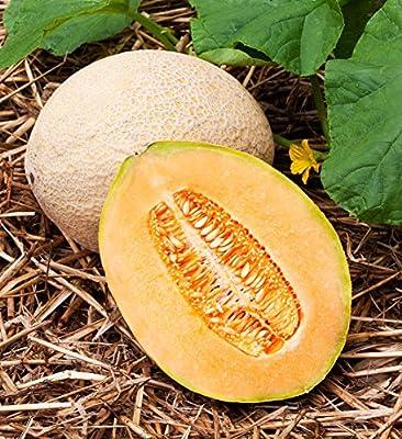 50 Hales Best Jumbo Cantaloupe Seeds
