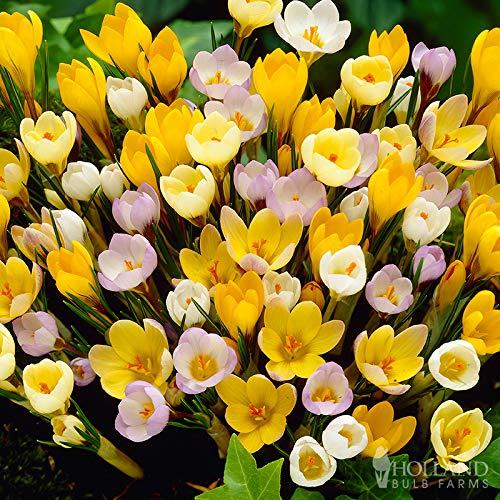 Mixed Botanical Crocus Jumbo Pack