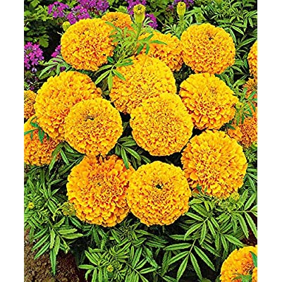 Earth Seeds Co 100 Pcs Marigolds 'Golden Age' Seeds, Half-Hardy Annual Bee Flower Plants Seeds Ideal for beds and Borders, Patio pots and containers, Easy to Grow! : Garden & Outdoor