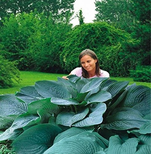 Empress Lily (Hosta, Plantain Lily Empress Wu - Bulb/Tuber/Root -)