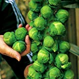 Brussels Sprout Seeds - 200+ Rare Heirloom Brussel Sprout Seeds (Long Island Improved) Yields 50-100 Sprouts per Plant! Guaranteed to Grow