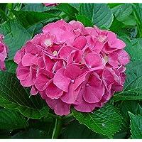 Plantsworld Hydrangea Pink Live Plant