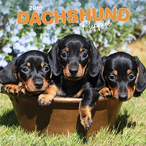Dachshund Puppies 2019 12 x 12 Inch Monthly Square, used for sale  Delivered anywhere in USA