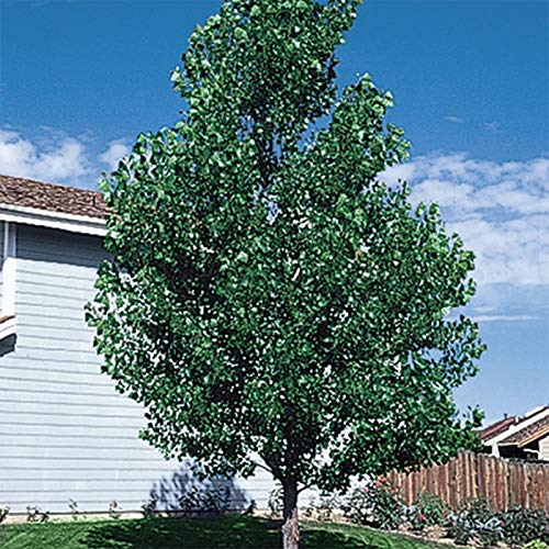 10 Rooted Fast Growing Hybrid Poplar Trees - 14-18 inches Tall - Fast Growing - Get Privacy and Shade Very Fast with These Easy to Grow and Attractive Trees. by CZ Grain (Image #5)