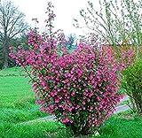 25 Seeds Red-flowering Currant, Redflower Currant Ribes Sanguineum Flowering Bush