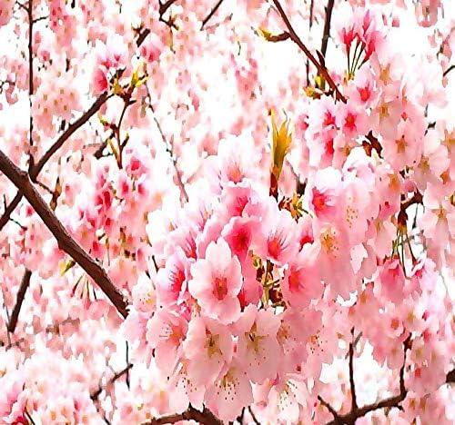Amazon Com Big Pack 100 Japanese Sakura Flowering Cherry Prunus Serrulata Tree Seed Japanese Cherry Blossom Tree Seeds By Myseeds Co Big Pack Japanese Sakura Garden Outdoor