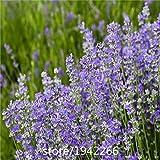 Blue Sea Lavender Seeds, Original Pack, 100 Seeds / Pack, Statice Blue Dry Flower seeds Limonium Sinuatum