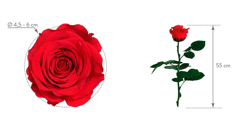 Rose naturelle stabilis/ée Rose /éternelle 55 cm de hauteur rouge