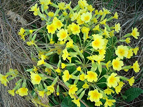 Primrose Flowers Yellow Green Dead  flower wall art