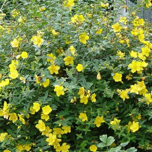 1 x hypericum hidcote semi evergreen shrub hardy garden plant in 1 x hypericum hidcote semi evergreen shrub hardy garden plant in pot amazon garden outdoors mightylinksfo