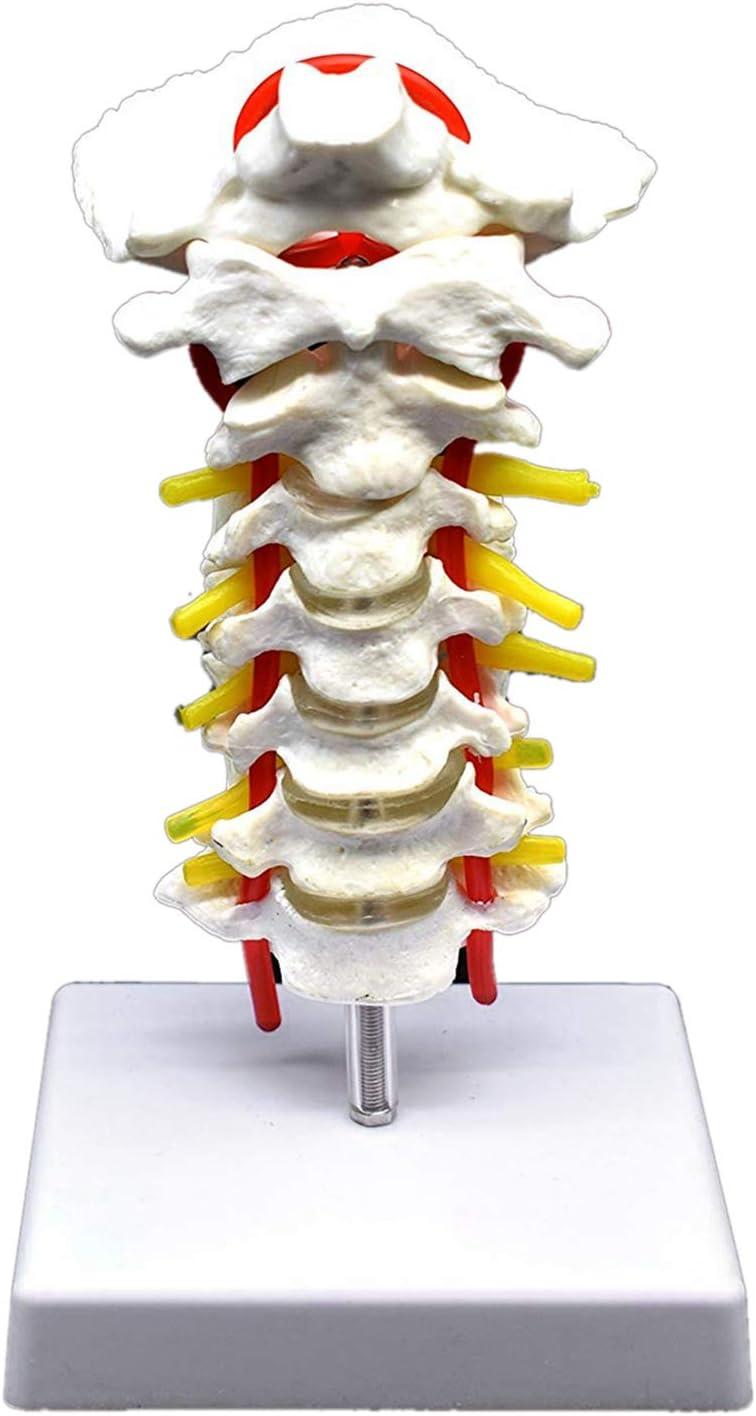 RETYLY Vértebra Cervical Arteria Columna Vertebral Nervios Vertebrales Modelo Anatómico Anatomía para la Ciencia Estudio en el Aula Exhibición Doctora Modelo Médico