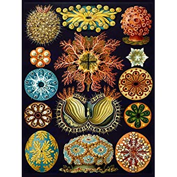 NATURE ART BIOLOGY BIRD HUMMING ERNST HAECKEL GERMANY VINTAGE POSTER PRINT 865PY