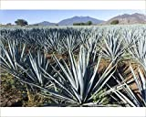 10x8 Print of Tequila is made from the blue agave plant in the state of Jalisco and mostly (13599991)