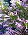 "Rosemary Mint - Mexican Oregano - Poliomintha longiflora - 4"" Pot"