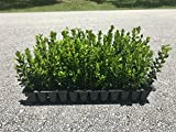 Winter Gem Korean Boxwood Qty 60 Live Plants Fast Growing Cold Hardy Evergreen