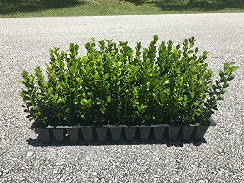 Winter Gem Boxwood Qty 15 Live Plants Evergreen Formal Hedge by Florida Foliage (Image #9)