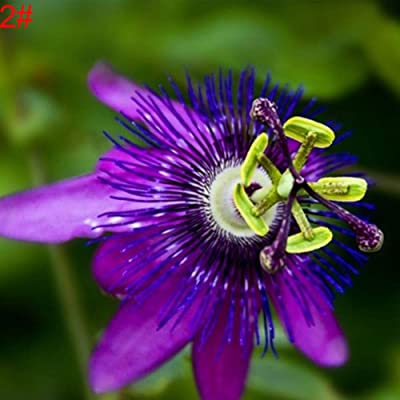 BYyushop Passion Fruit Flower Seeds, 100Pcs Passiflora Passion Fruit Flower Seeds Bonsai Yard Garden Plants Growing - 2 : Garden & Outdoor