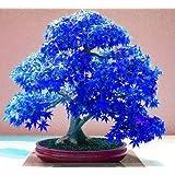 Jungjongjin 20pcs Purple blue Ghost Japanese Maple Tree, (Acer Palatum),bonsai flower seeds,tree seeds,potted plant for home & garden