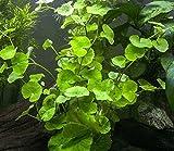 Hot Sale! Brazilian Pennywort (Hydrocotyle leucocept) - aquatic plant