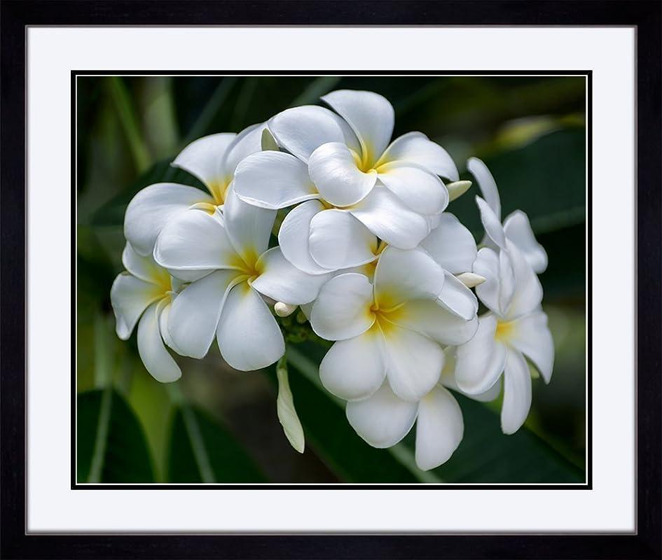 Tropical Hawaiian Art Decor Print White Plumeria Flower Picture