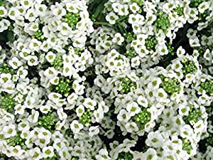 Carpet of Snow Alyssum Seeds - 1.5 grams