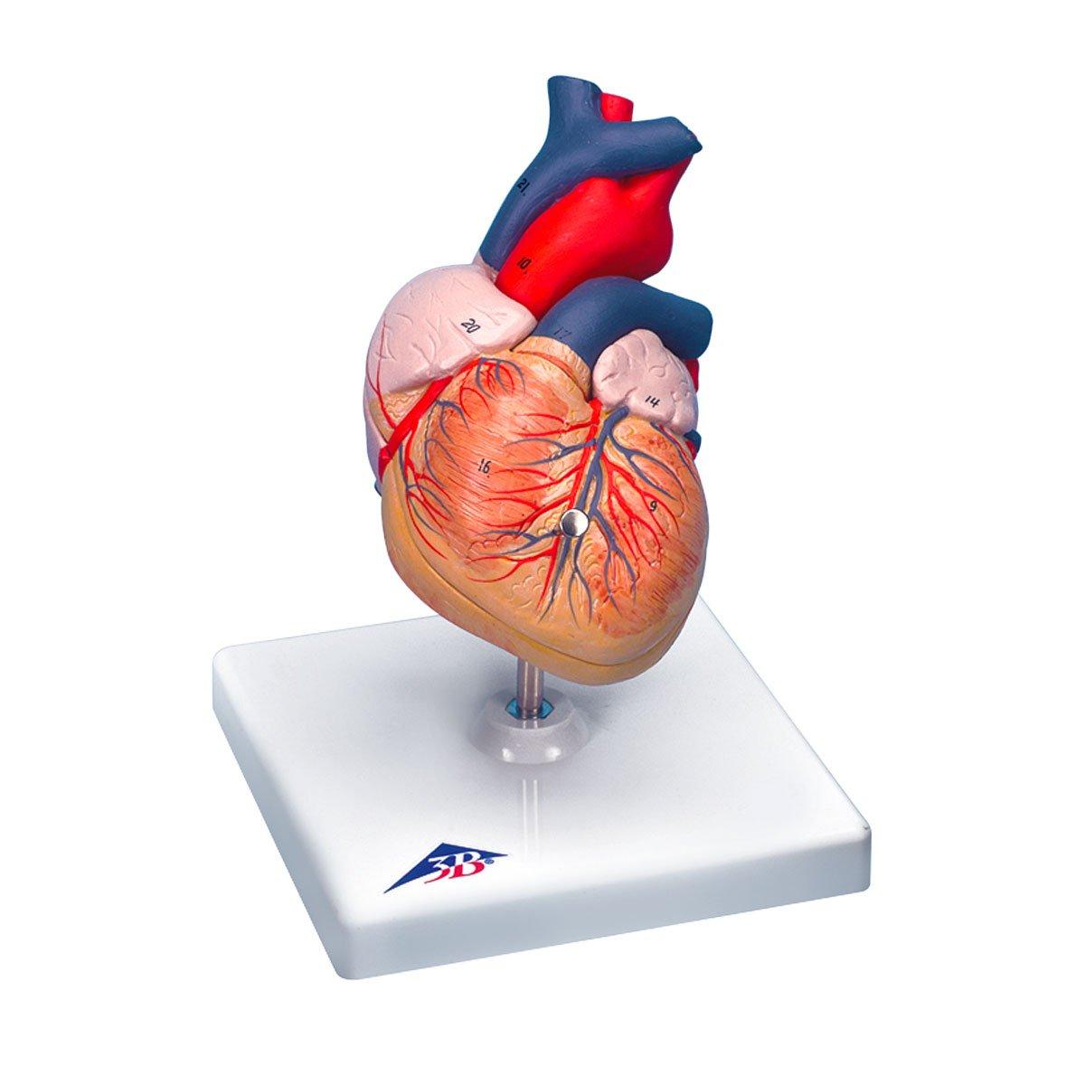 3B Scientific Herzmodell Klassik, 2-teilig: Amazon.de: Gewerbe ...