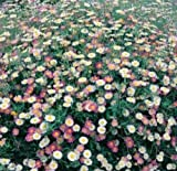 100 Erigeron Karvinskianus Seeds a.K.a Santa Barbara Daisy and Mexican Daisy