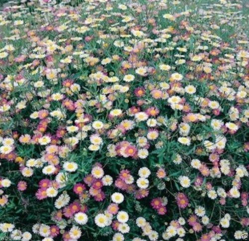 100 Erigeron Karvinskianus Seeds a.K.a Santa Barbara Daisy and Mexican - Santa Stores Barbara