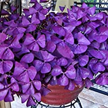 super1798 10Pcs Shamrock Oxalis Triangularis Bulbs Leaf Flower Seeds Garden Plant - Purple Oxalis Bulbs