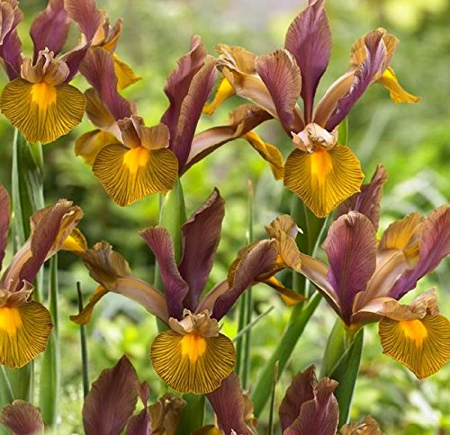Iris Hollandica Lion King - 10 bulbes GardenSeedsMarket