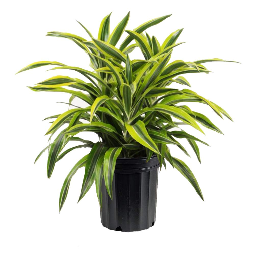 AMERICAN PLANT EXCHANGE Dracaena''Lemon Lime'' Live Plant, 3 Gallon, Indoor/Outdoor Air Purifier by AMERICAN PLANT EXCHANGE