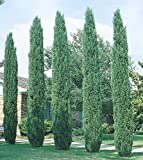 Italian Cypress Tree (Cupressus ) - 4 Inch Pot