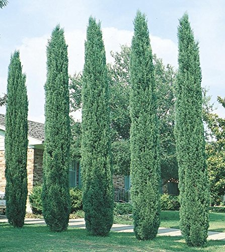 Italian cypress tree cupressus 4 inch pot trees for Trees for back garden