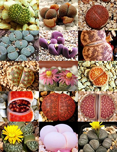RARE Lithops MIX succulent cactus EXOTIC living stones desert rock seed 50 SEEDS ()