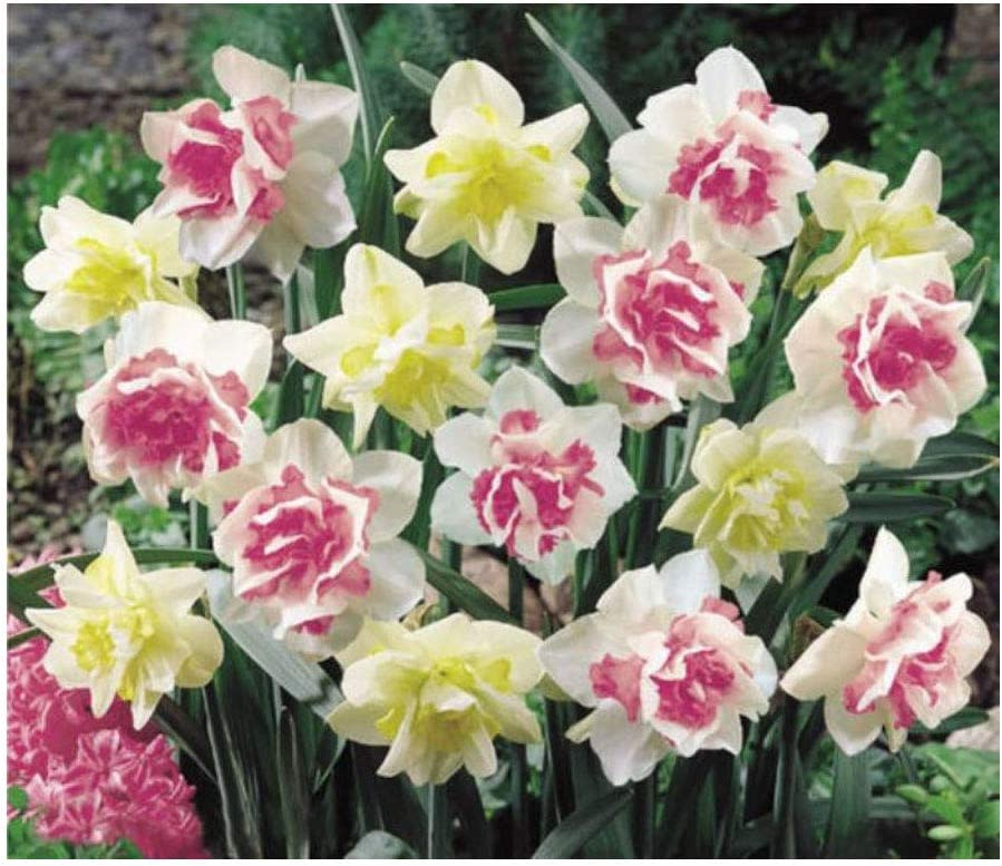 Hardy Spring Flowering Daffodil BULBS WHITE LION 12 x Double Daffodils