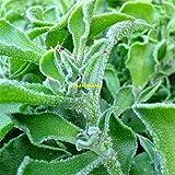 500 Graines Mesembryanthemum crystallinum , Crystalline Iceplant seeds