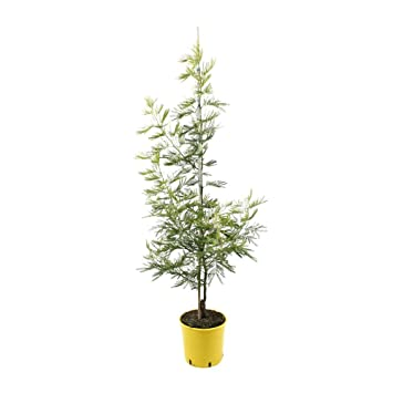 Special Deal Acacia Dealbata Gaulois Astier Mimosa Tree