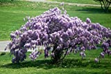 "Chinese Blue Wisteria Tree Flowering Established Rooted - 6 Plants in 2.5"" Pots"