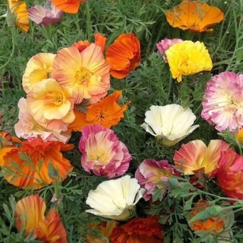 100 Ballerina Mixed Seeds Semi Double Flowers are (Sherbet Stem)