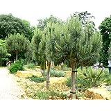 Pinus Pinea Pianta in vaso Pino - 2 piante PINUS PINEA Pino da frutto pigna pinoli Umbrella Pine vaso 15 h 150-180
