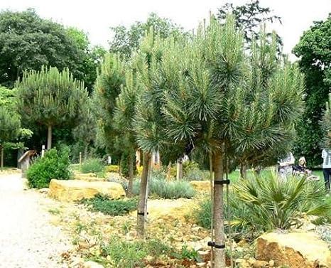 Pinus Pinea Pianta In Vaso Pino   2 Piante PINUS PINEA Pino Da Frutto Pigna  Pinoli