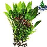 GreenPro Freshwater Aquarium Plants Package Value Pack 4 Species Amazon Sword Anacharis Java Fern Ludwigia By