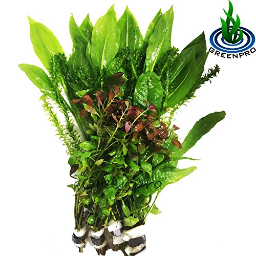 GreenPro Freshwater Aquarium Plants Package Value Pack 4 Species Amazon Sword Anacharis Java Fern Ludwigia By by GreenPro