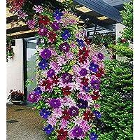 Ncient 50 Semillas de Clemátide de Colores Mixtos Semillas Flores Plantas Bonsai para Jardín Balcon Interior y…