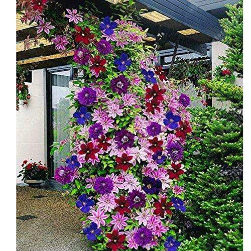 Ncient 50 Semillas de Clemátide de Colores Mixtos Semillas Flores Plantas Bonsai para Jardín Balcon Interior y Exteriores Ncient Semillas