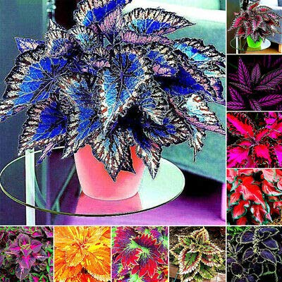 Bio Garden - Rare 100pcs Coleus Plants - Great Falls Angel Seeds Easy to Grow, Exotic Flower Seeds Hardy Perennial Garden
