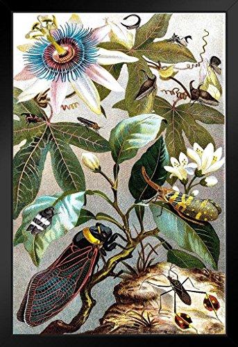 Art Framed Pencil Print - Vintage Victorian Illustration of Cicada Art Print Framed Poster 14x20 inch