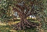 Komar 8-531 Olive Tree Mural