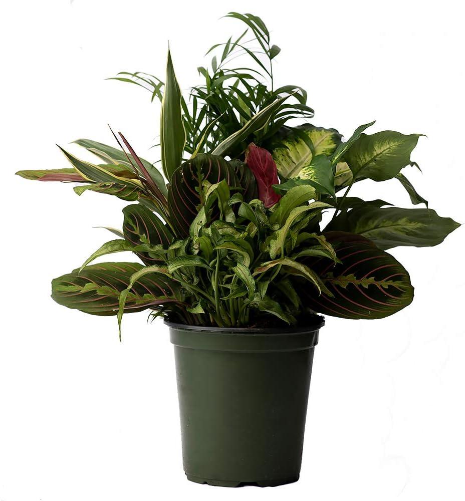 "American Plant Exchange Dish Garden Assorted Foliage Live Plant, 6"" Pot, Season Selection"