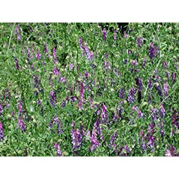 planting crown vetch plants amazoncom 100 hairy crown vetch russian vetch vicia villosa